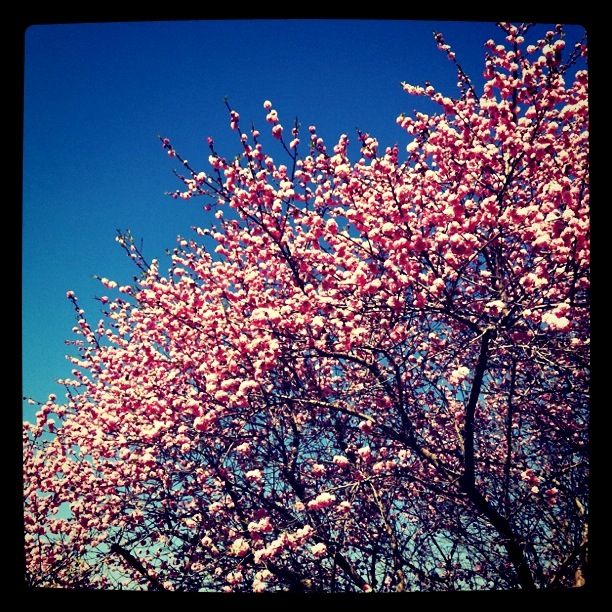 Cherry BLossoms and feeling overwhelmed